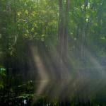 Sunbeams shining through the fog on the Wacissa River